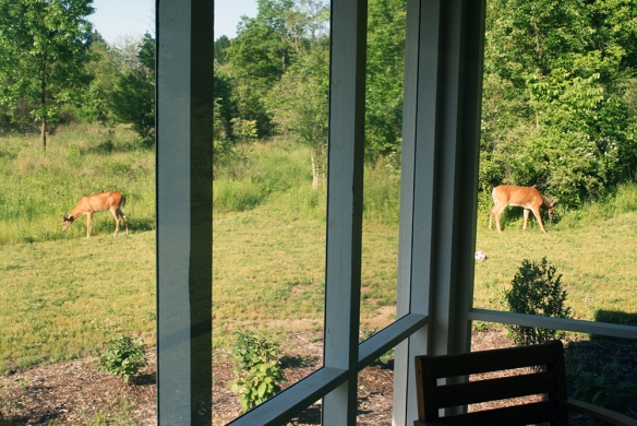 Two of our whitetail bucks feeding in the yard during breakfast.