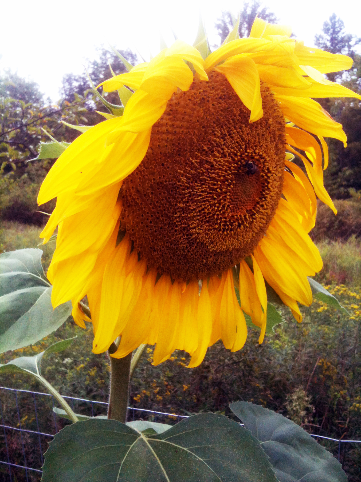 Sunflowers are just so cool. I wonder when we can harvest sunflower seeds....
