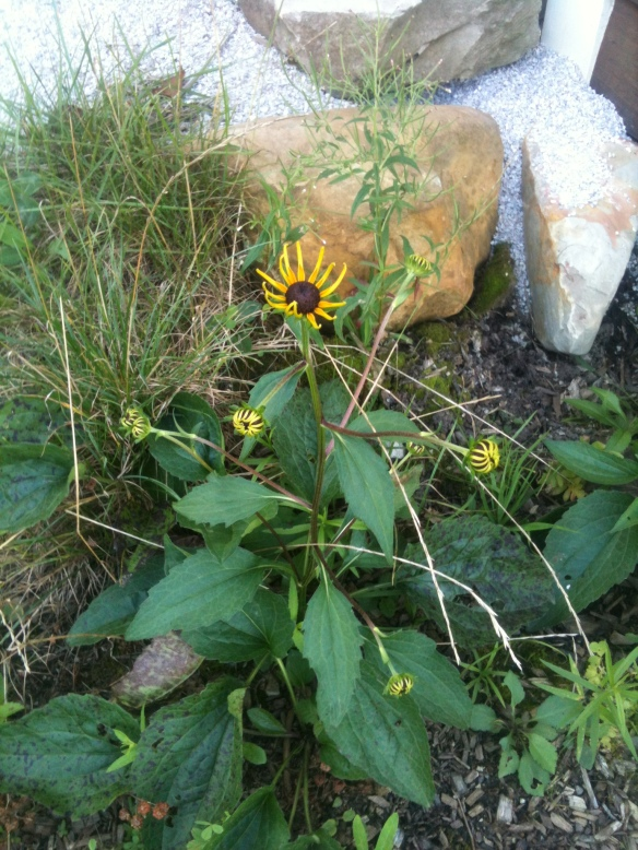 Heirloom black eyed susans finally came back near the rain barrel.