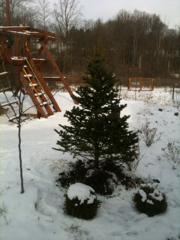 "Our real live Christmas tree waiting in the ""holding area"" by the swing set, just outside the back window where we can see it. I'll put lights on it soon and we can enjoy it outside until the week before Christmas when we'll bring it into the Family Room."