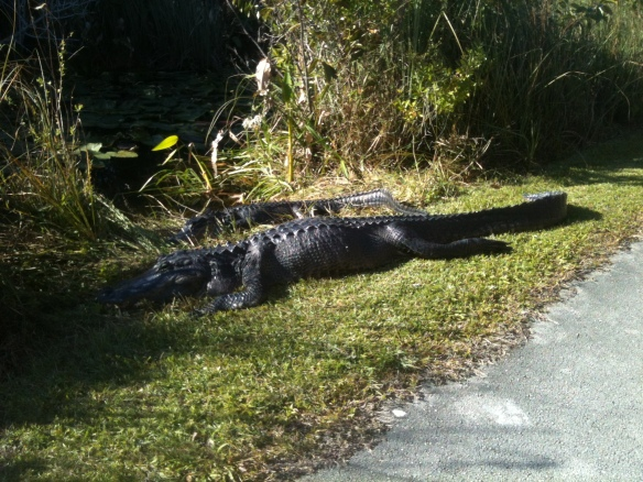 Alligators in Everglades Nat'l Park.