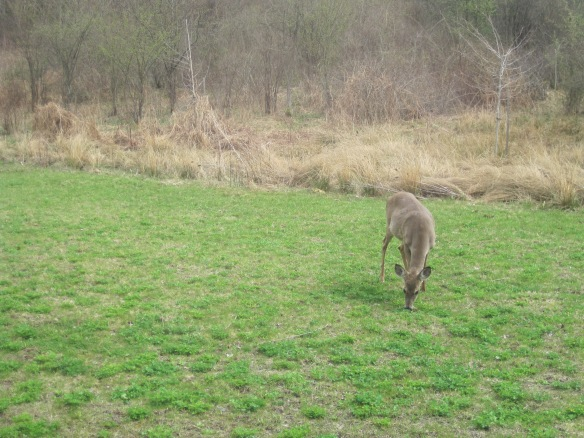 A deer feeds on clover on Earth Day this year. In the background are the tupelo trees we planted last year on Earth Day.