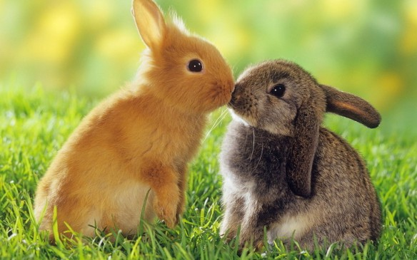 A cute picture of rabbits kissing.