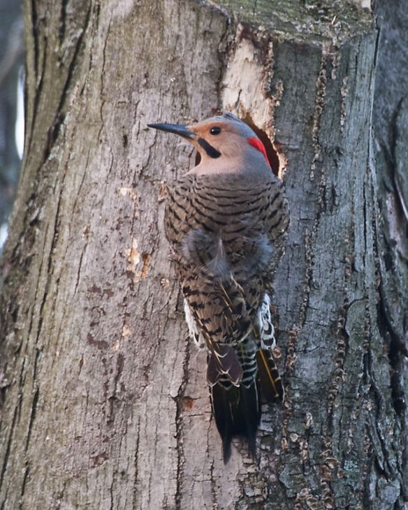 Male Yellow Shafted Northern Flicker (not sure who checked to see what color its shaft is but I'll take their word for it.) Photo stolen from Wikipedia, click link in post for more info.