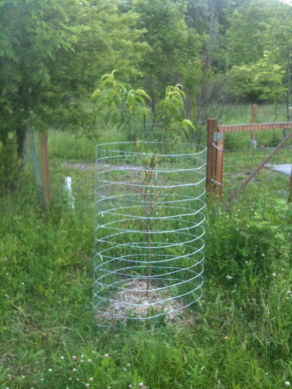 Peach tree fencing.