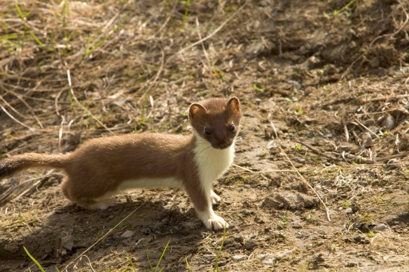 Short tailed weasel - photo from ohio DNR website