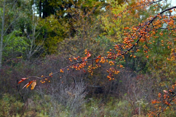 """Autumn berries in the front yard. We have so many different """"wild"""" berry trees. Fall is an incredible time to visit and see them all."""