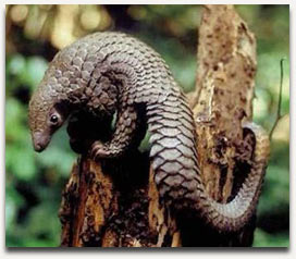 This is a pangolin. Super cute. Photo courtesy of http://savepangolins.org
