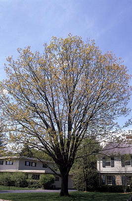 Red oak photo borrowed from the Ohio Forestry website http://forestry.ohiodnr.gov/redoak